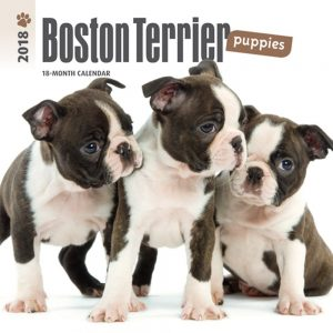 Boston Terrier Puppies 2018 7 X 7 Inch Monthly Mini Wall Calendar