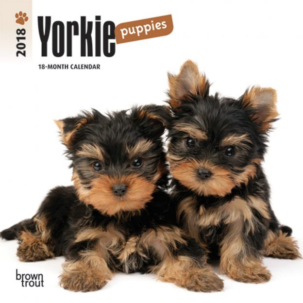 Yorkshire Terrier Puppies 2018 7 X 7 Inch Monthly Mini Wall Calendar