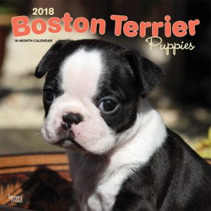 Boston Terrier Puppies 2018 12 X 12 Inch Monthly Square Wall Calendar