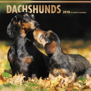Dachshunds 2018 12 X 12 Inch Monthly Square Wall Calendar With Foil Stamped Cover