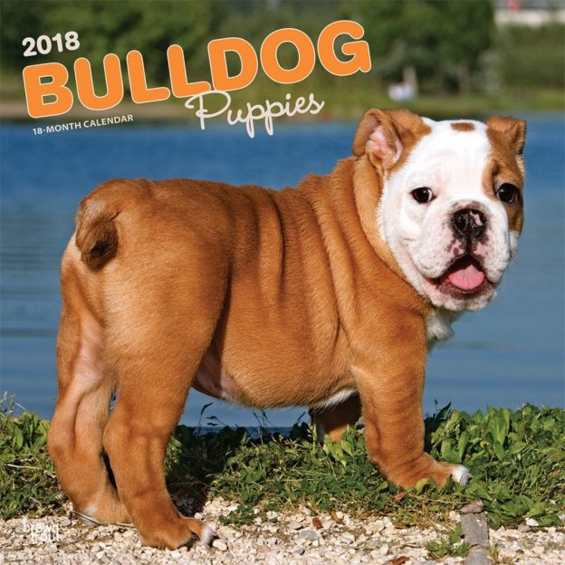Bulldog Puppies 2018 12 X 12 Inch Monthly Square Wall Calendar
