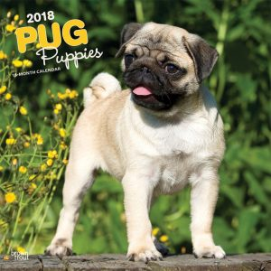 Pug Puppies 2018 12 X 12 Inch Monthly Square Wall Calendar