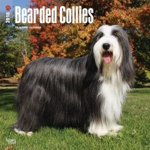 Bearded Collies 2018 12 X 12 Inch Monthly Square Wall Calendar