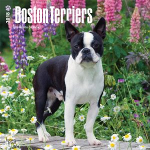 Boston Terriers 2018 12 X 12 Inch Monthly Square Wall Calendar