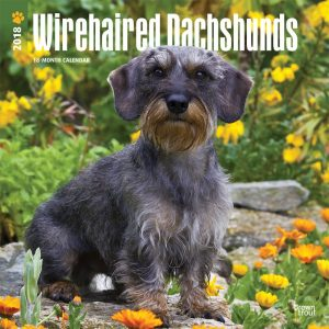 Wirehaired Dachshunds 2018 12 X 12 Inch Monthly Square Wall Calendar