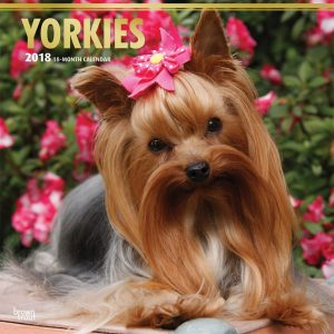 Yorkshire Terriers 2018 12 X 12 Inch Monthly Square Wall Calendar With Foil Stamped Cover