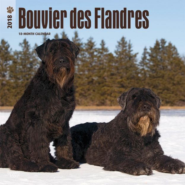 Bouvier Des Flandres 2018 12 X 12 Inch Monthly Square Wall Calendar
