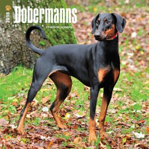Dobermanns International Edition 2018 12 X 12 Inch Monthly Square Wall Calendar