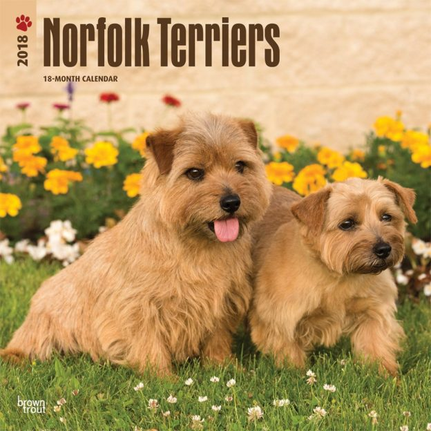 Norfolk Terriers 2018 12 X 12 Inch Monthly Square Wall Calendar