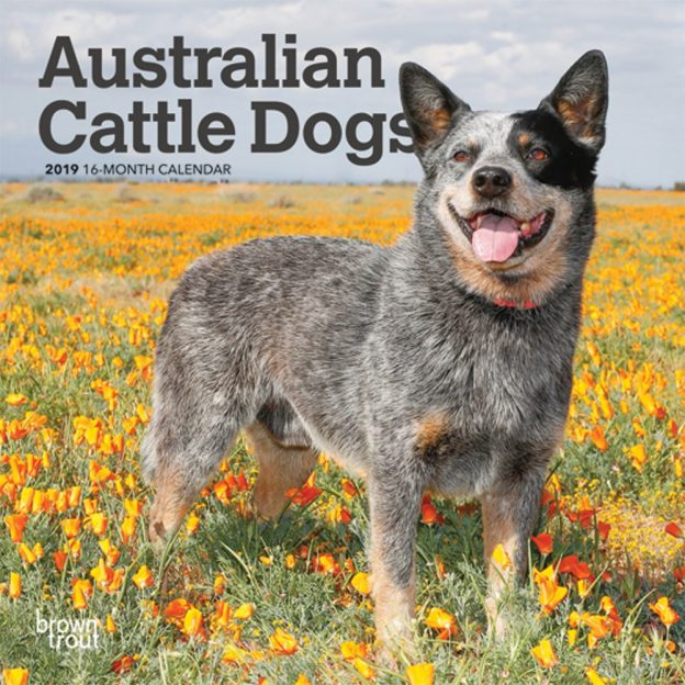 Australian Cattle Dogs 2019 7 x 7 Inch Monthly Mini Wall Calendar, Animals Dog Breeds