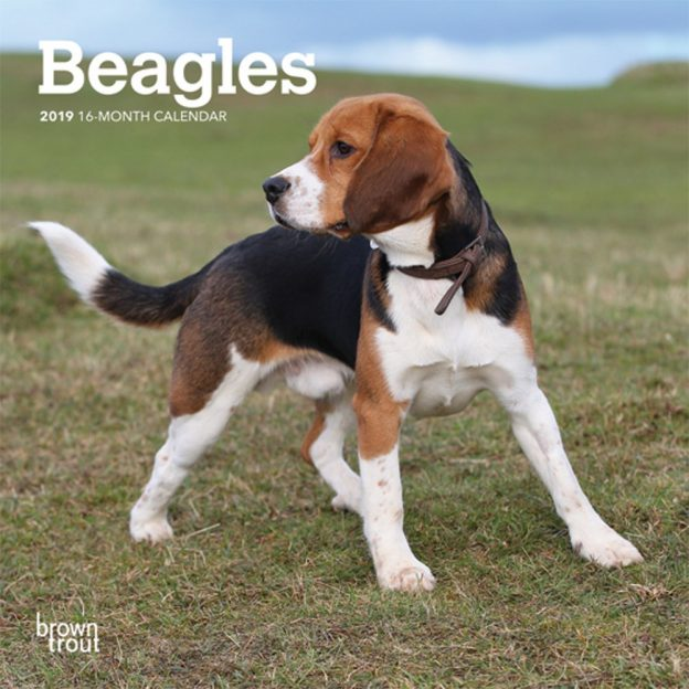 Beagles 2019 7 x 7 Inch Monthly Mini Wall Calendar, Animals Dog Breeds
