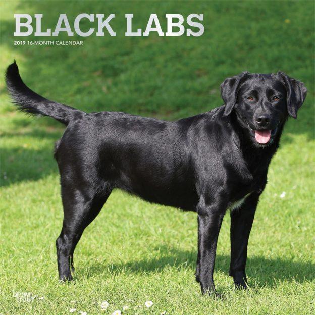 Black Labrador Retrievers 2019 12 x 12 Inch Monthly Square Wall Calendar with Foil Stamped Cover, Animals Dog Breeds Retriever