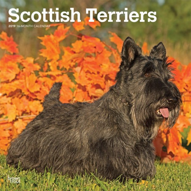 Scottish Terriers 2019 12 x 12 Inch Monthly Square Wall Calendar, Animals Dog Breeds