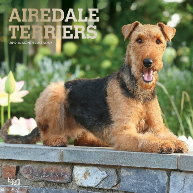 Airedale Terriers 2019 12 x 12 Inch Monthly Square Wall Calendar with Foil Stamped Cover, Animal Dog Breeds