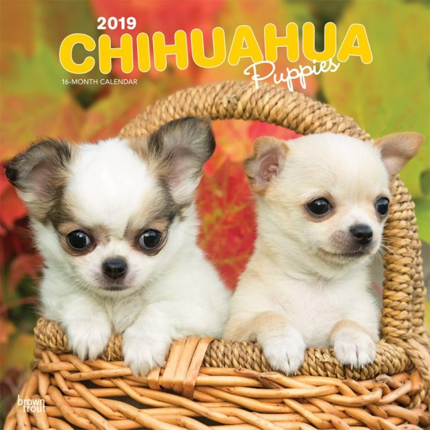 Chihuahua Puppies 2019 12 x 12 Inch Monthly Square Wall Calendar, Animals Small Dog Breeds Puppies