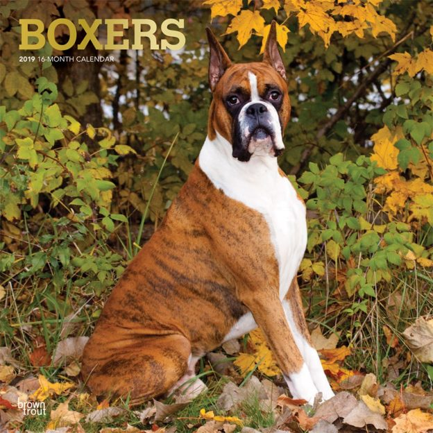 Boxers 2019 12 x 12 Inch Monthly Square Wall Calendar with Foil Stamped Cover, Animals Dog Breeds