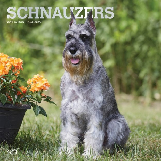 Schnauzers 2019 12 x 12 Inch Monthly Square Wall Calendar with Foil Stamped Cover, Animals Dog Breeds