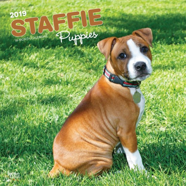 Staffie Puppies 2019 12 x 12 Inch Monthly Square Wall Calendar, Animals Dog Breeds Staffordshire