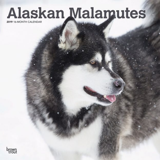 Alaskan Malamutes 2019 12 x 12 Inch Monthly Square Wall Calendar, Animals Dog Breeds