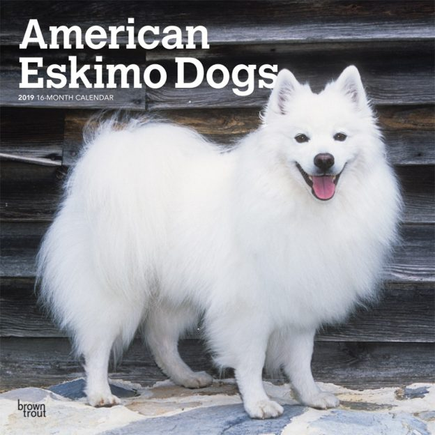 American Eskimo Dogs 2019 12 x 12 Inch Monthly Square Wall Calendar, Animals Dog Breeds American