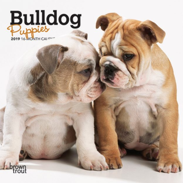 Bulldog Puppies 2019 7 x 7 Inch Monthly Mini Wall Calendar, Animals Dog Breeds Puppies