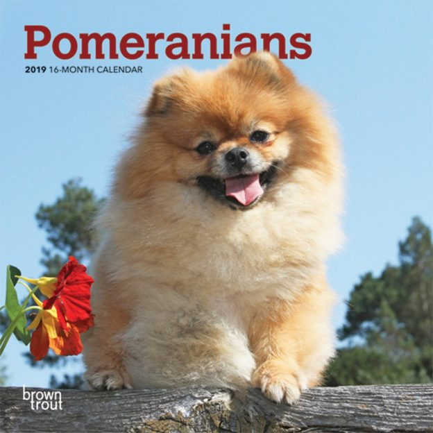 Pomeranians 2019 7 x 7 Inch Monthly Mini Wall Calendar, Animals Small Dog Breeds