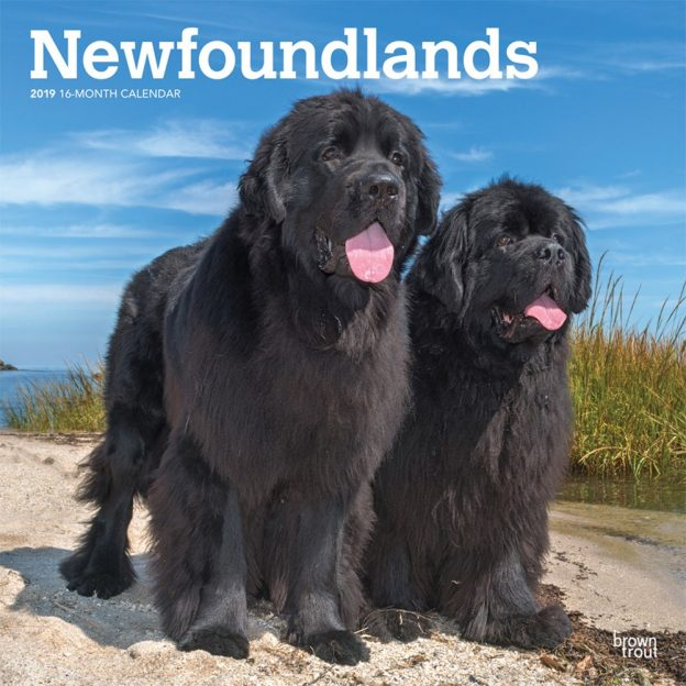Newfoundlands 2019 12 x 12 Inch Monthly Square Wall Calendar, Animals Dog Breeds