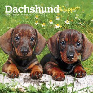 Dachshund Puppies 2019 7 x 7 Inch Monthly Mini Wall Calendar