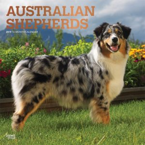 Australian Shepherds 2019 12 x 12 Inch Monthly Square Wall Calendar with Foil Stamped Cover