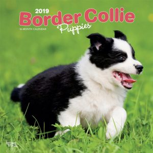 Border Collie Puppies 2019 12 x 12 Inch Monthly Square Wall Calendar