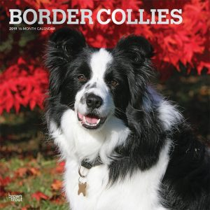 Border Collies 2019 12 x 12 Inch Monthly Square Wall Calendar with Foil Stamped Cover