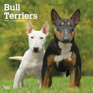Bull Terriers 2019 12 x 12 Inch Monthly Square Wall Calendar