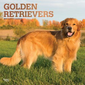 Golden Retrievers 2019 12 x 12 Inch Monthly Square Wall Calendar with Foil Stamped Cover