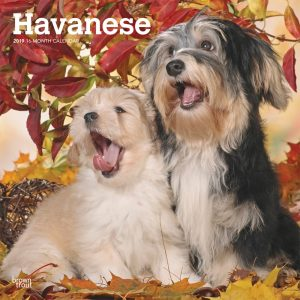 Havanese 2019 12 x 12 Inch Monthly Square Wall Calendar