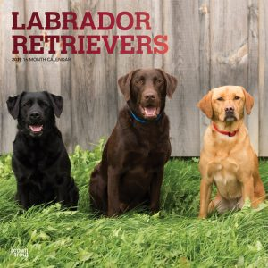 Labrador Retrievers 2019 12 x 12 Inch Monthly Square Wall Calendar with Foil Stamped Cover