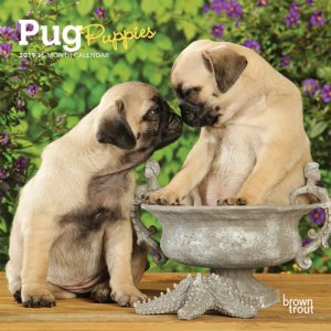 Pug Puppies 2019 7 x 7 Inch Monthly Mini Wall Calendar