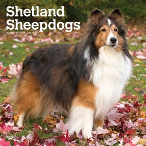 Shetland Sheepdogs 2019 12 x 12 Inch Monthly Square Wall Calendar