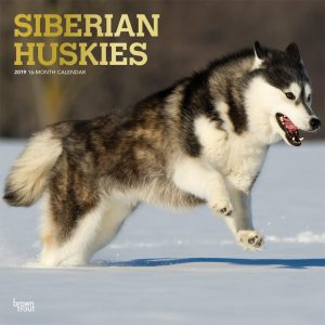 Siberian Huskies 2019 12 x 12 Inch Monthly Square Wall Calendar with Foil Stamped Cover
