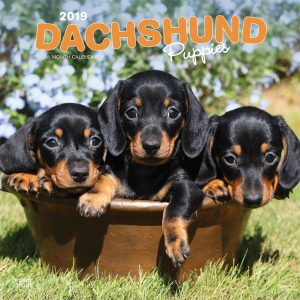 Dachshund Puppies 2019 12 x 12 Inch Monthly Square Wall Calendar