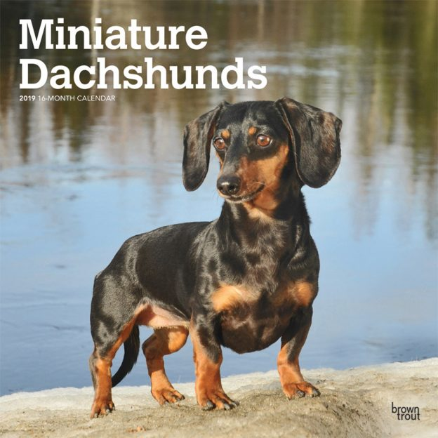 Miniature Dachshunds 2019 12 x 12 Inch Monthly Square Wall Calendar