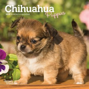 Chihuahua Puppies 2019 7 x 7 Inch Monthly Mini Wall Calendar