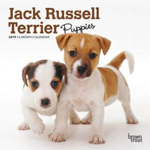 Jack Russell Terrier Puppies 2019 7 x 7 Inch Monthly Mini Wall Calendar
