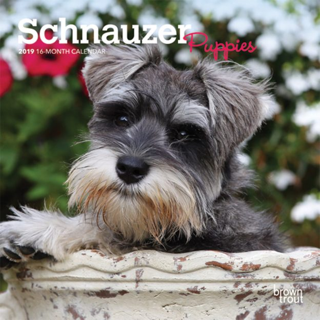 Schnauzer Puppies 2019 7 x 7 Inch Monthly Mini Wall Calendar