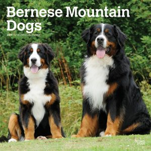 Bernese Mountain Dogs 2019 12 x 12 Inch Monthly Square Wall Calendar
