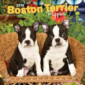 Boston Terrier Puppies 2019 12 x 12 Inch Monthly Square Wall Calendar