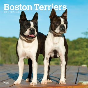 Boston Terriers 2019 12 x 12 Inch Monthly Square Wall Calendar