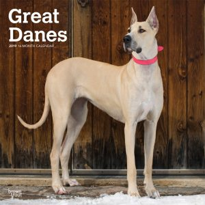 Great Danes 2019 12 x 12 Inch Monthly Square Wall Calendar