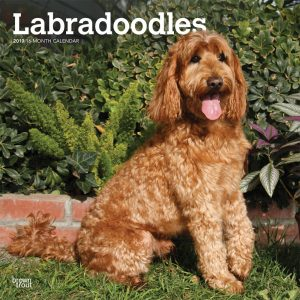 Labradoodles 2019 12 x 12 Inch Monthly Square Wall Calendar
