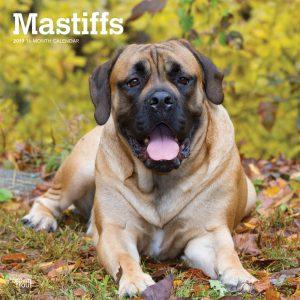 Mastiffs 2019 12 x 12 Inch Monthly Square Wall Calendar