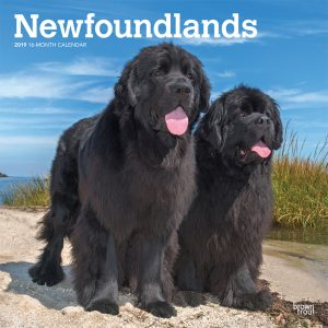 Newfoundlands 2019 12 x 12 Inch Monthly Square Wall Calendar